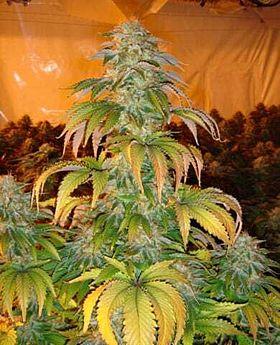 Paradise Seeds Spoetnik #1 Feminised Seeds