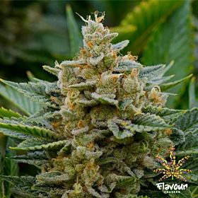 stardawg flavour chasers