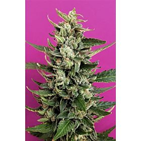 Breaking Buds Seeds Strawberry Cream Fem