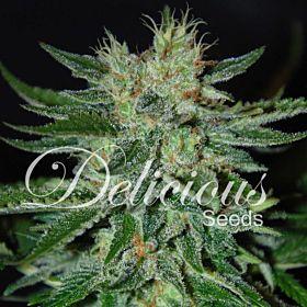 Delicious Seeds - Sugar Black Rose Feminized