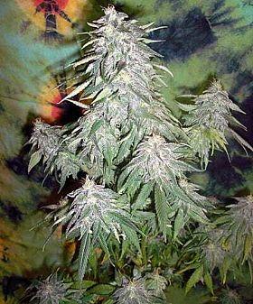 British Columbia Seed Company - Super Kush