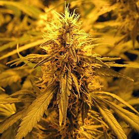 Nirvana Seeds Amnesia Haze Feminized Seeds