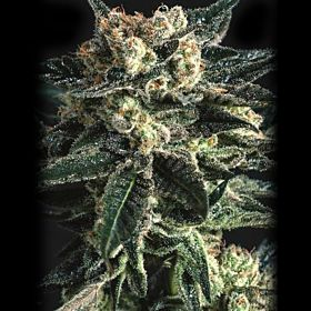 SuperCBDx AK47 x SCBDX Feminized Seeds