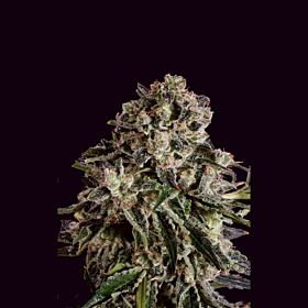 SuperCBDx Black Critical x SCBDX Feminized Seeds
