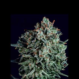 SuperCBDx Blue Cheese x SCBDX Feminized Seeds