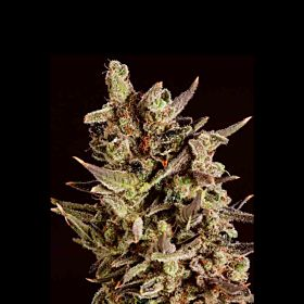 SuperCBDx Blueberry Headband x SCBDX Feminized Seeds