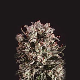 SuperCBDx Critical Mass x SCBDX Feminized Seeds