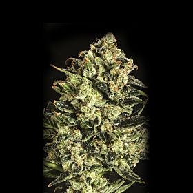 SuperCBDx Emerald Jack x SCBDX Feminized Seeds