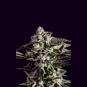 SuperCBDx NYC Diesel x SCBDX Feminized Seeds
