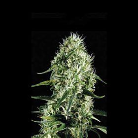 BlimBurn Seeds Silversurfer Haze Feminised Seeds