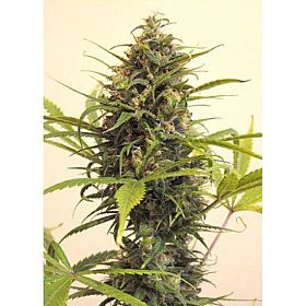 Afropips Seedsbank Sweet White Malawi Regular