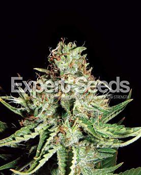 Expert Seeds Sweet Cream Auto Fem