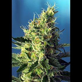 Sweet Seeds Sweet Pure CBD Fem