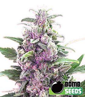 Bomb Seeds THC Bomb Feminized