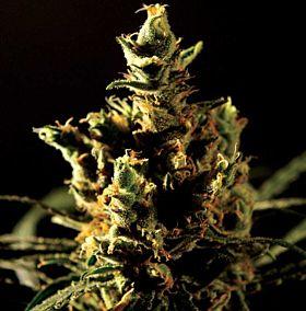 The Bulldog Seeds - The Bulldog Haze Feminized