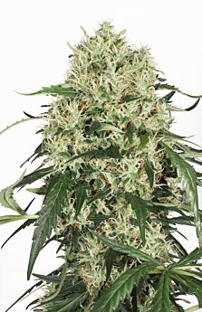 Dutch Passion The Ultimate Feminised Seeds