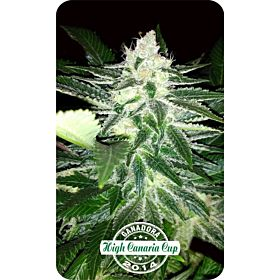 Dispensario Seeds Therapy Queen Fem