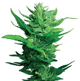 Dutch Passion Think Different Auto-flowering Feminised Seeds