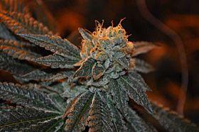 Elemental Seeds - Trueberry