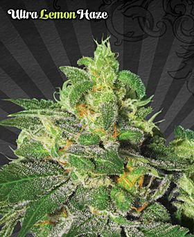 Auto Seeds - Ultra Lemon Haze Feminized