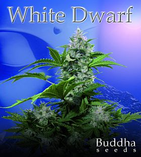 Buddha Seeds White Dwarf Auto Feminised
