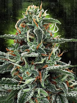 ministry of cannabis white widow