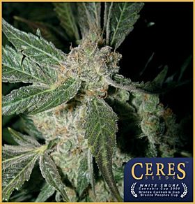 Ceres Seeds White Panther Feminised Seeds