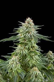 Royal Queen Seeds White Widow Automatic Feminised