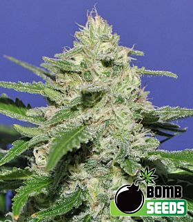 Bomb Seeds - Widow Bomb Regular