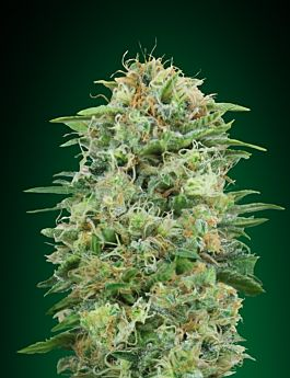 00 Seed Bank White Widow CBD Fem