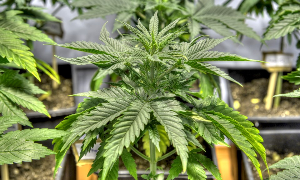 Cannabis Cultivation: How Long Does it Take?