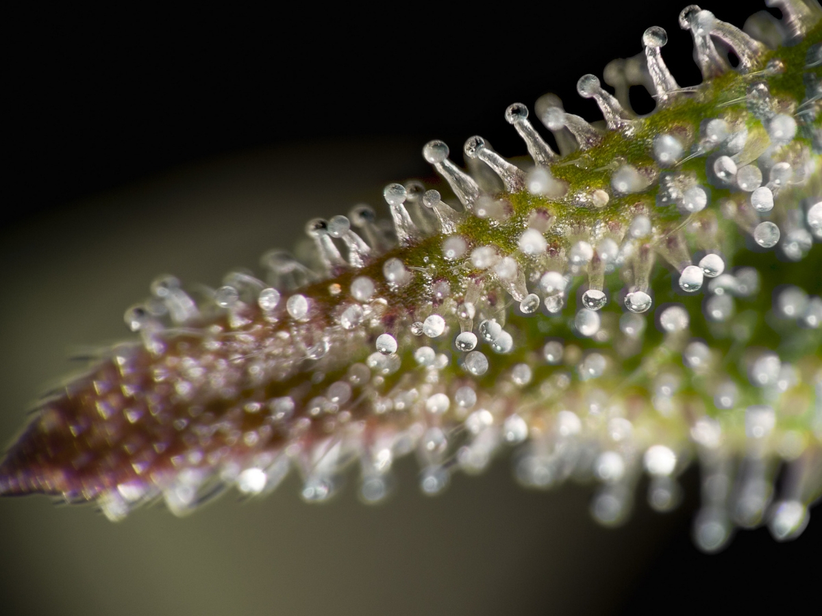 How Can I Increase Cannabis Trichome Production?