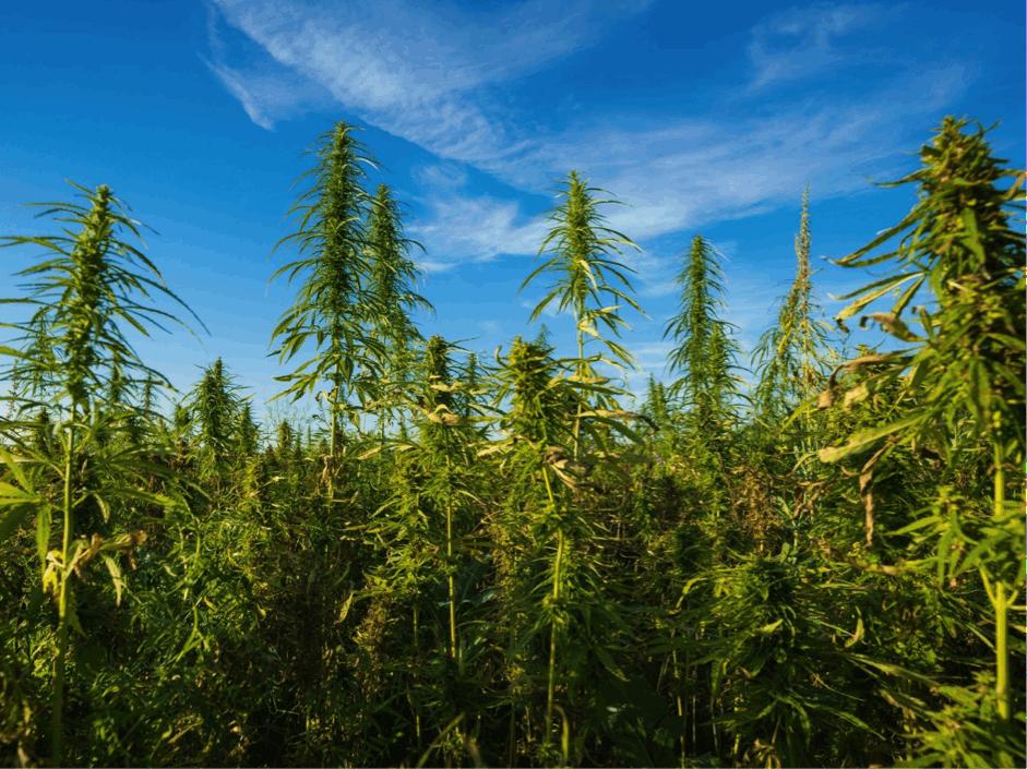 Is Outdoor Weed Stronger than Indoor Weed?