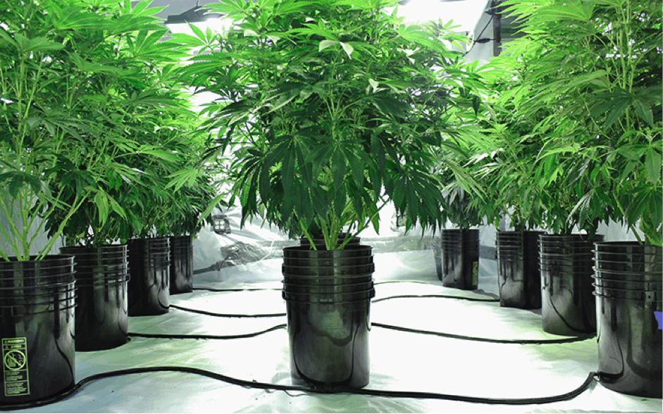 Is Hydroponic Cannabis Organic?