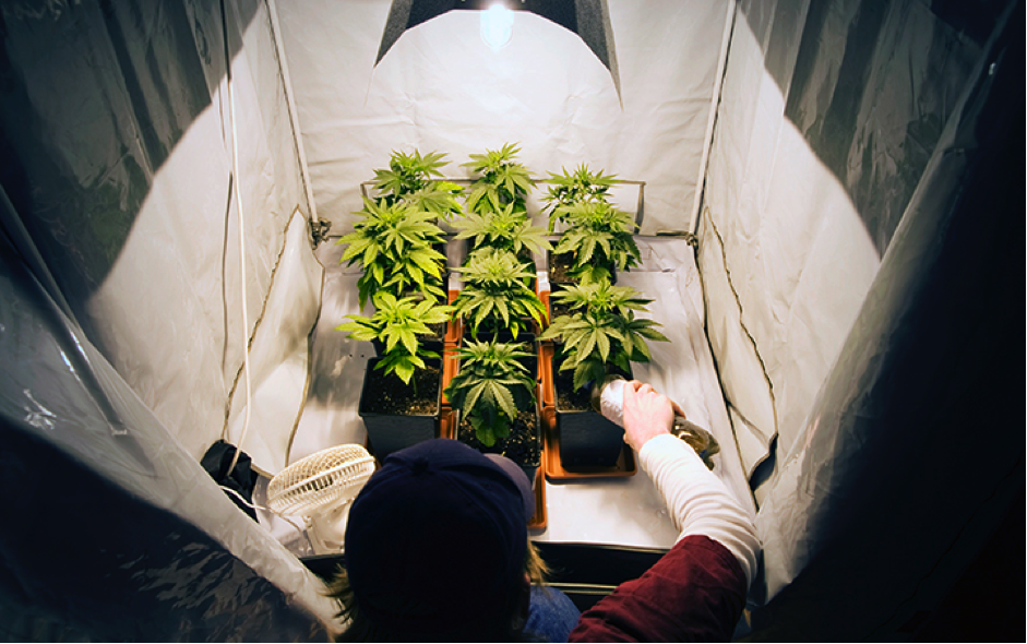 Are These the Best Strains to Grow Indoors?