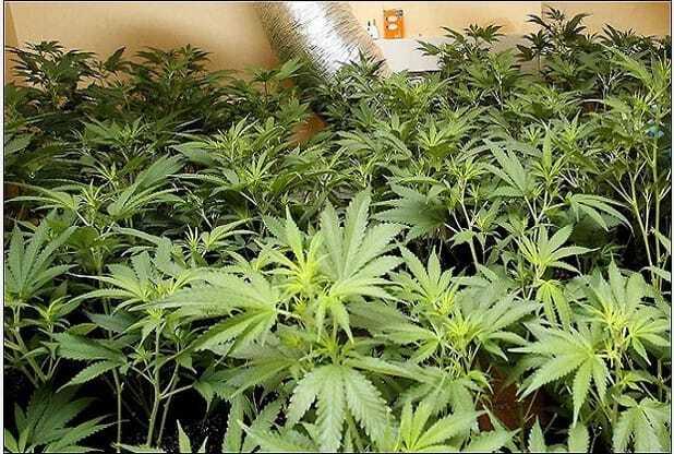 Cops Break Down the Wrong Door, Find £77,000 Worth of Cannabis Plants