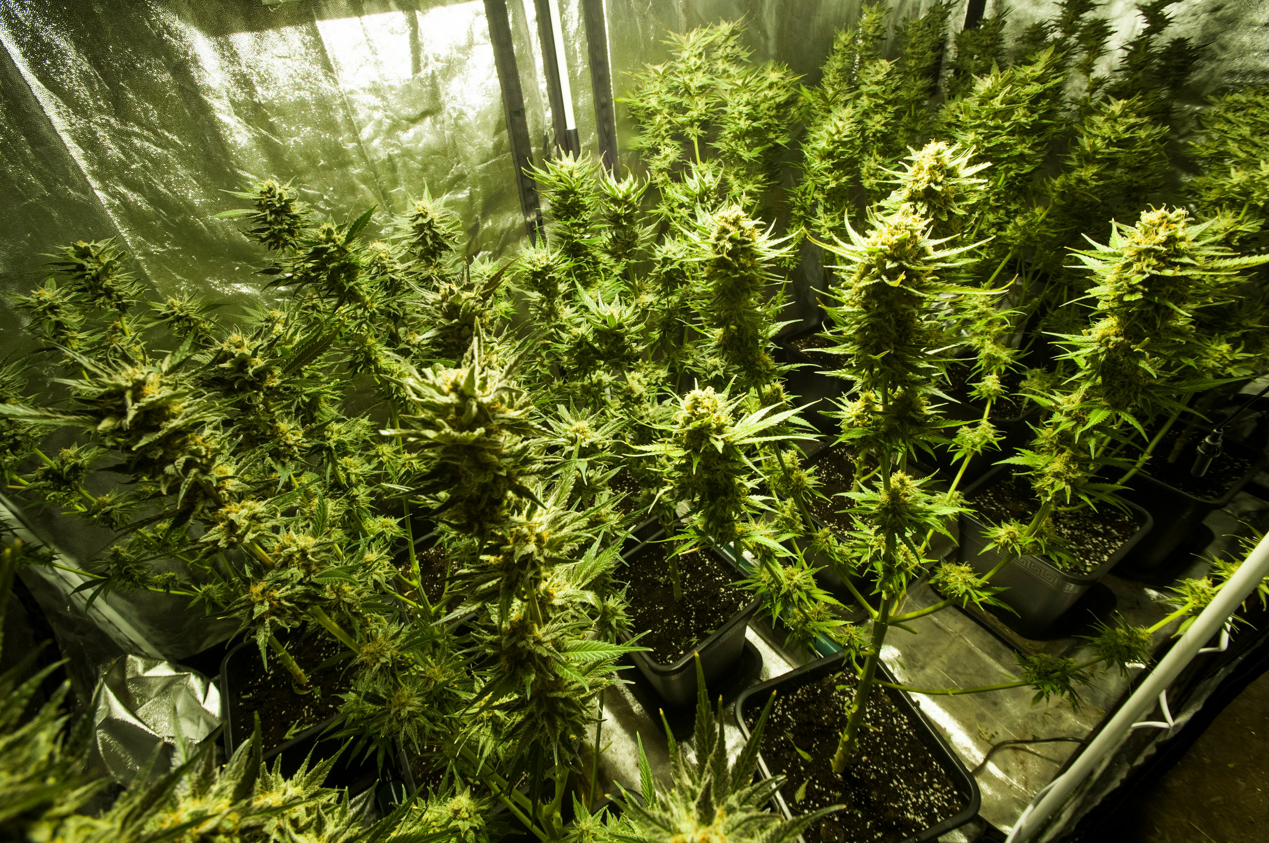 A beginner's guide to growing weed indoors