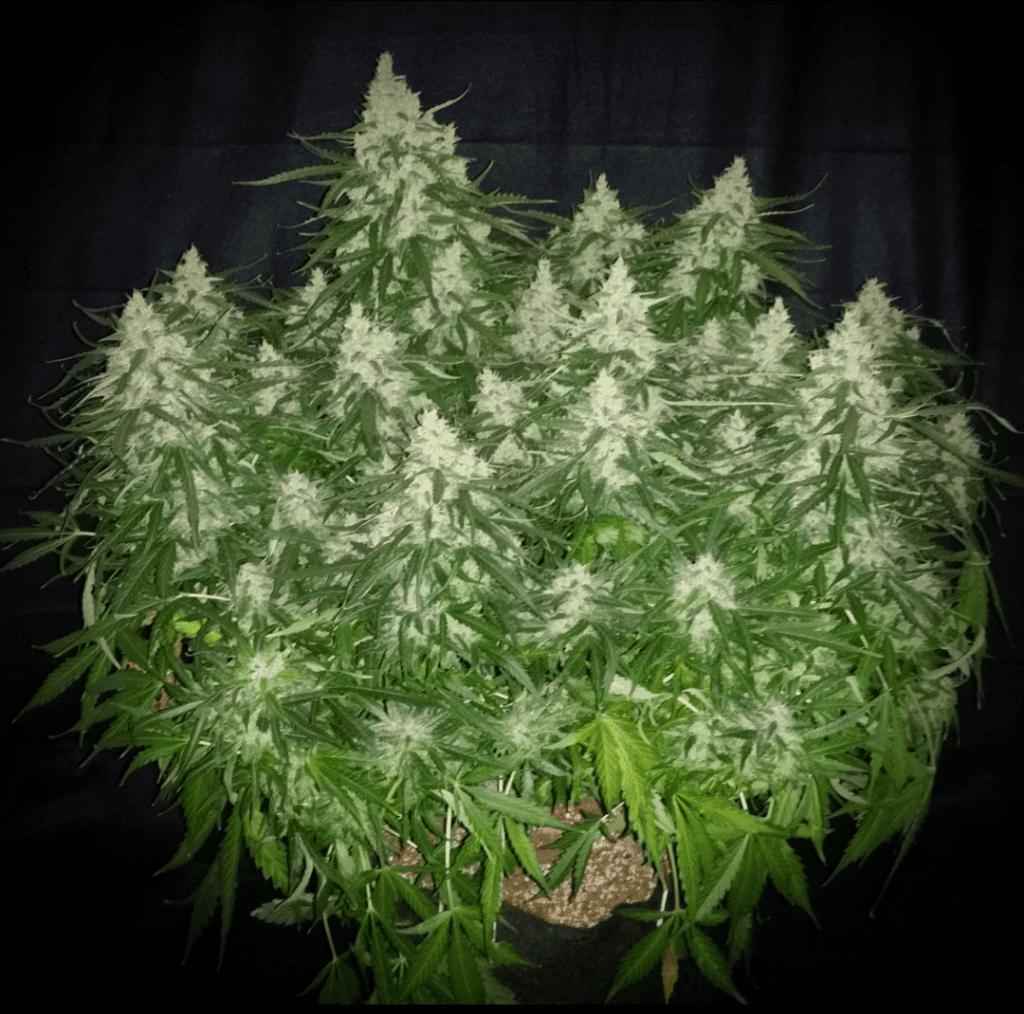 Marijuana Mythbusting – Ever Read Into These Beauties?
