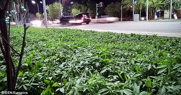 Cannabis plants spotted around public flowerbeds!