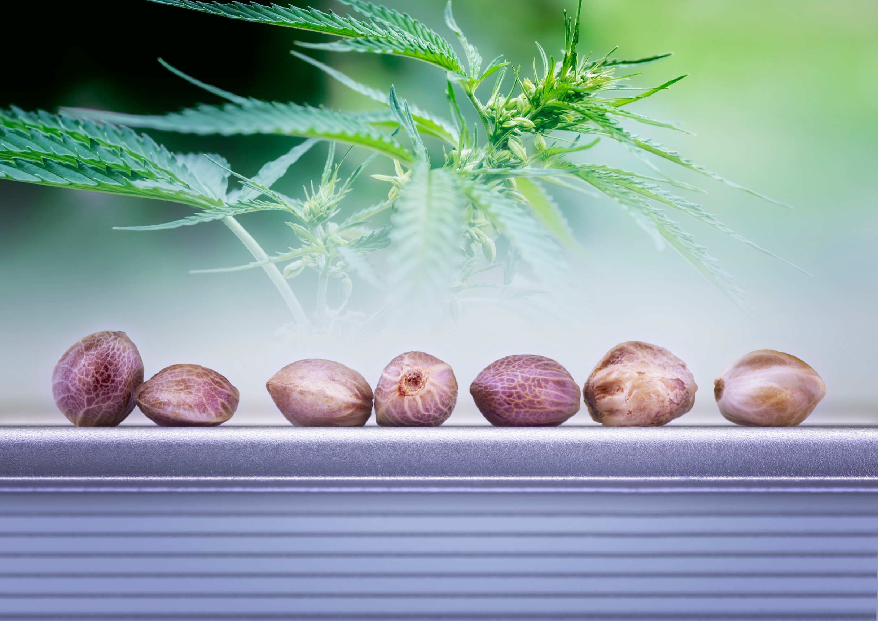 Cannabis Seeds 101