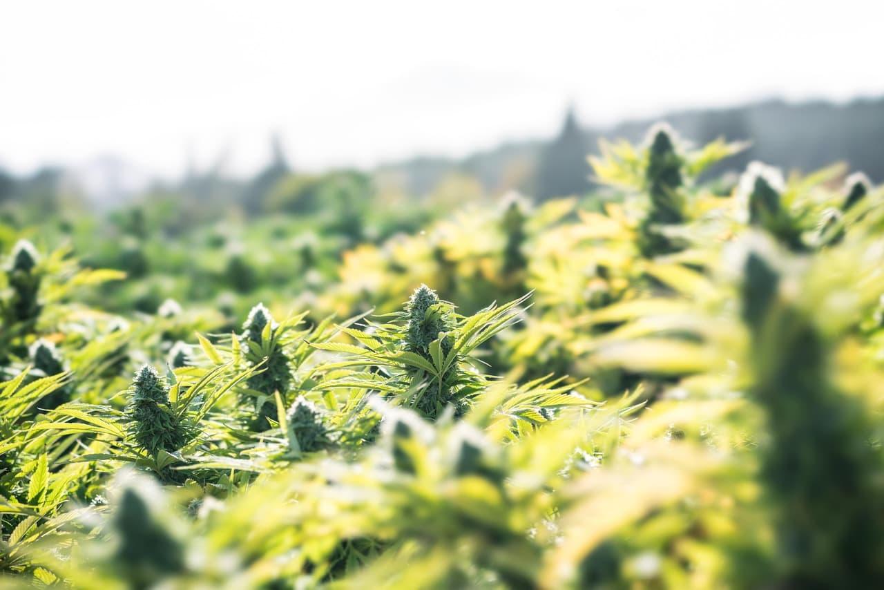 Best Outdoor Marijuana Strains 2021