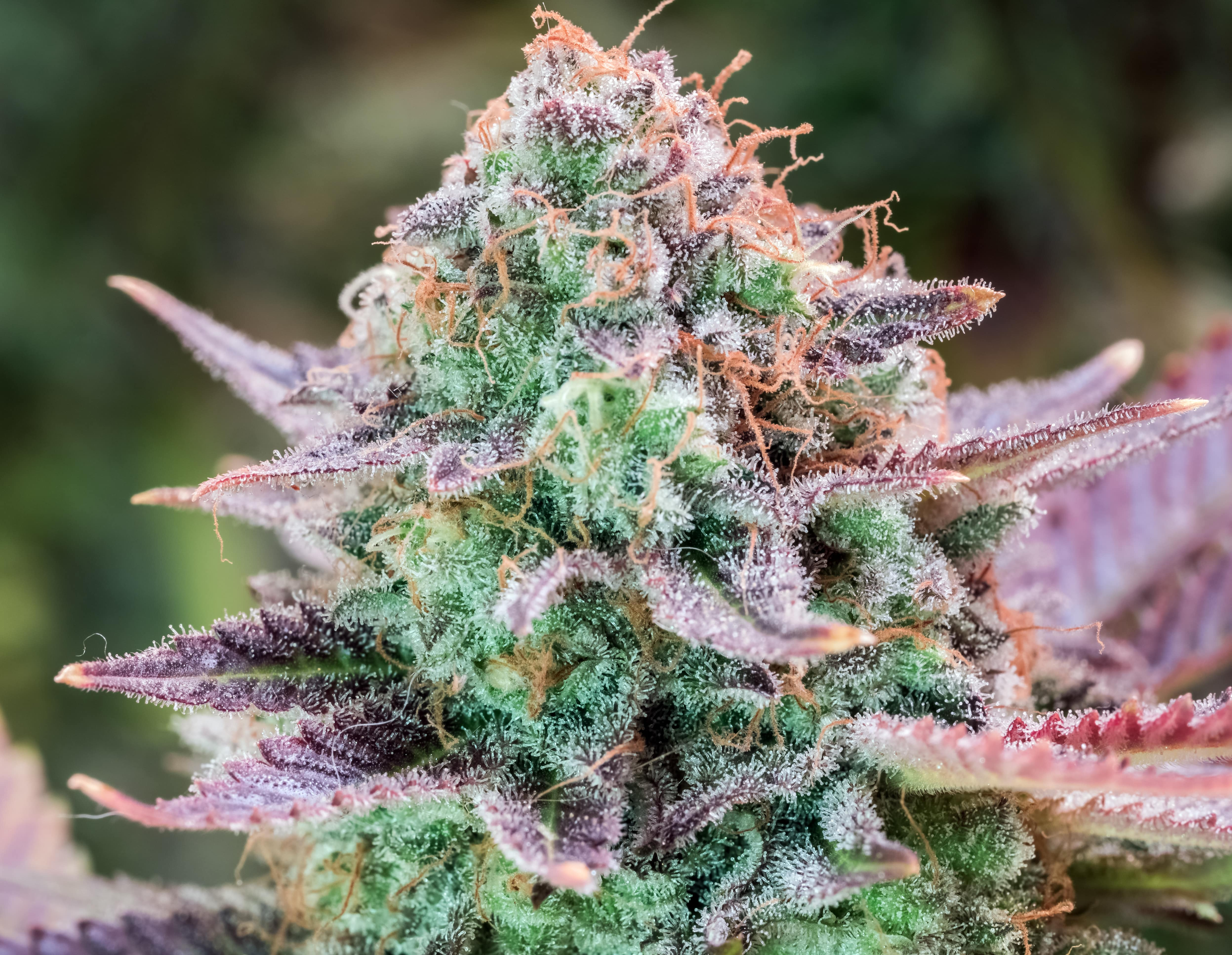 Top 5 latest cannabis strains in 2021