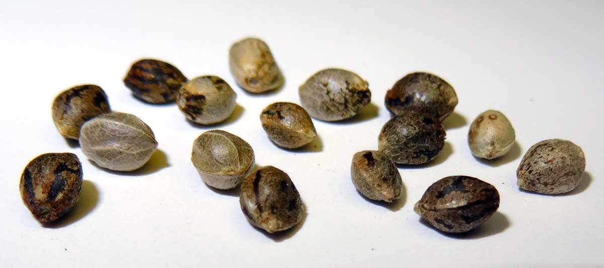 Cannabis Seeds for Sale Can Be Purchased Legally