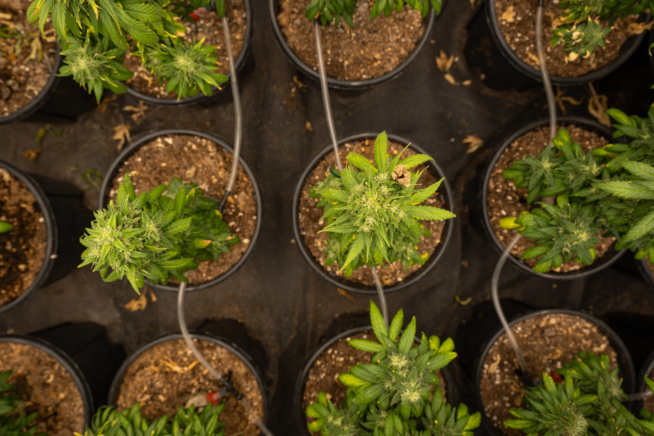 Top five tips for growing marijuana indoors
