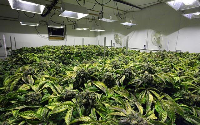What You Need To Know about Indoor Marijuana Growing