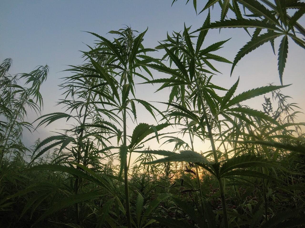 Top 4 tips for growing marijuana outdoors