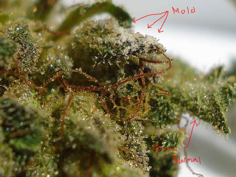 Mould – Cannabis Curing Enemy Number One