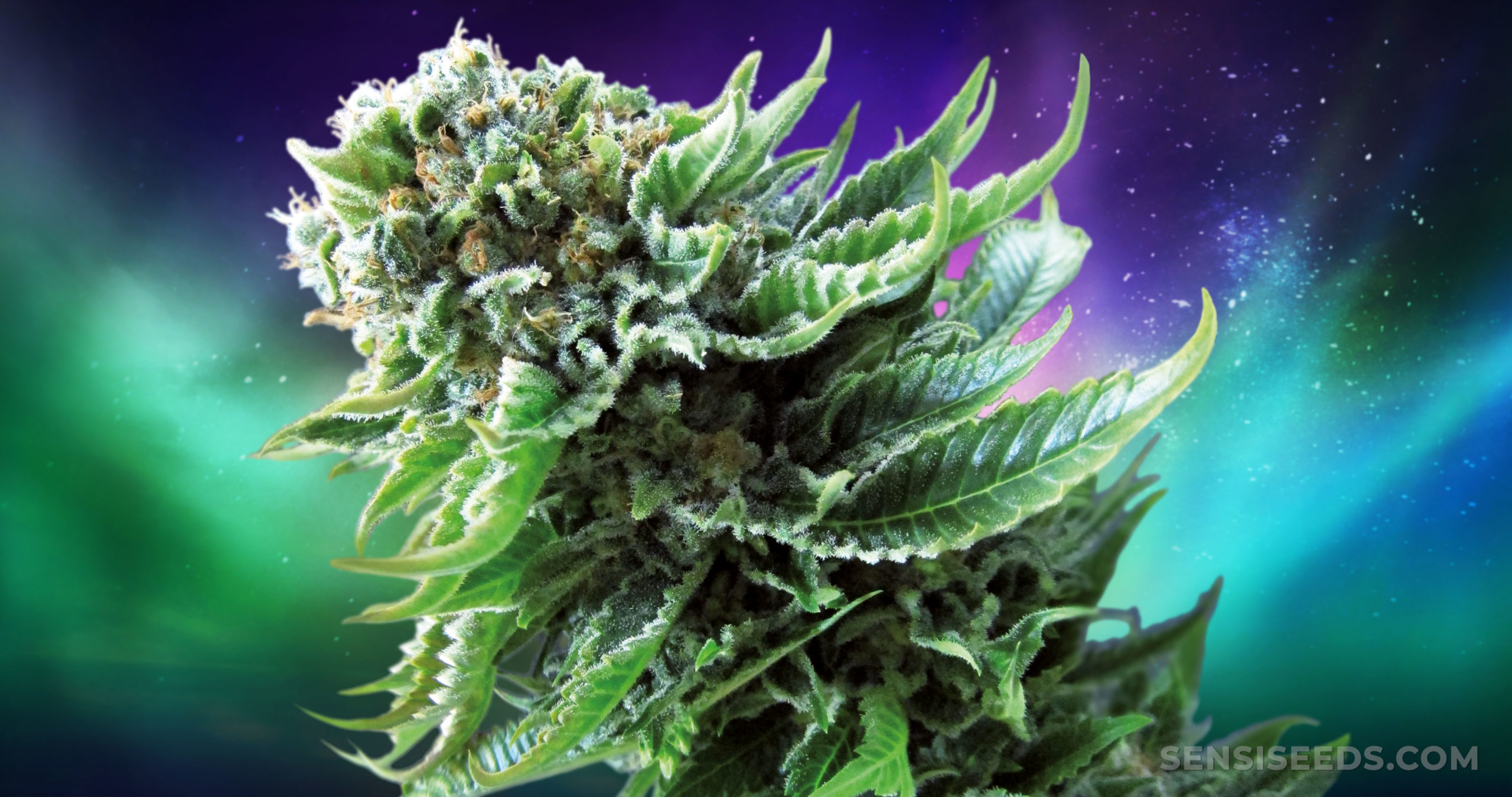 Five Autoflowering Cannabis Strains to Grow in 2021