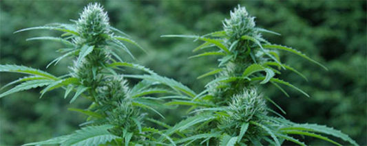 Six Weed Growing Myths That Will Kill Your Crop Dead