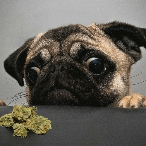 What to Do if Your Pet Eats Your Pot – Animal ER